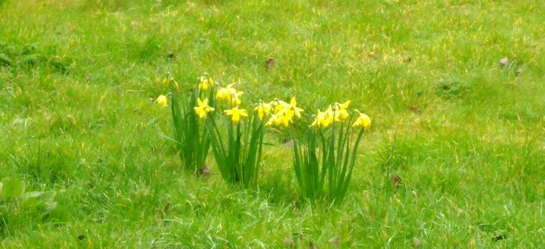 Daffodils in the garden